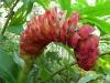 Flores lapidarius