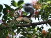 Weissbauchhörnchen