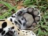 Jaguarpfote