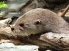 Kleiner Flussotter