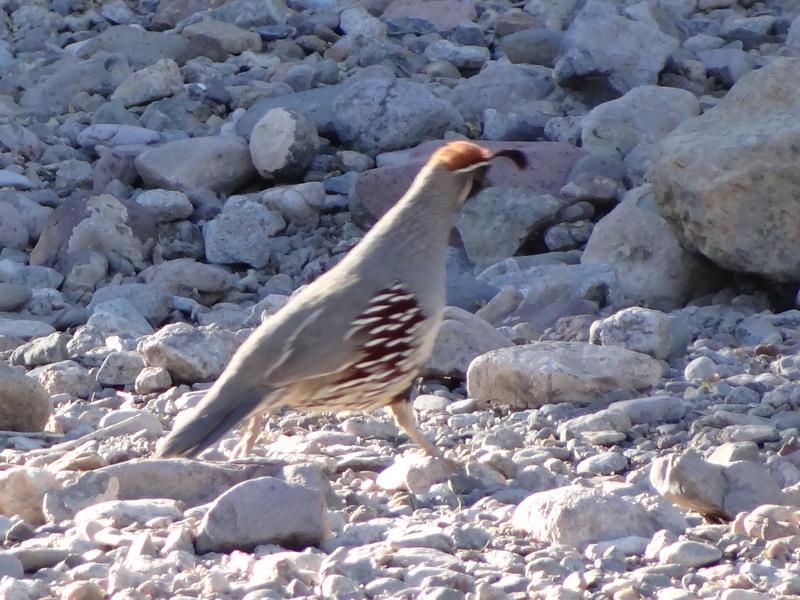 Gampel's quail