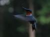 Kolibri in Maine!