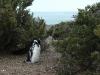 sich schämender Pingu