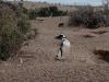 suchender Pingu