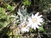 Edelweiss a la Chile
