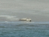 putziger Seehund
