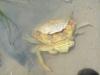 Krabbe beim Häuten