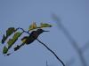 Kolibri, 2cm