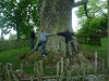 400 Jahre alte Eiche