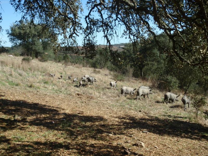 Schweine unter Korkeichen