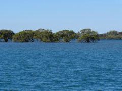 Mangroven bei Flut