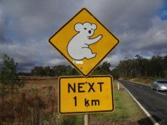 Koalaschild