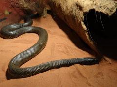 Thaipan die giftigste Schlange der Welt